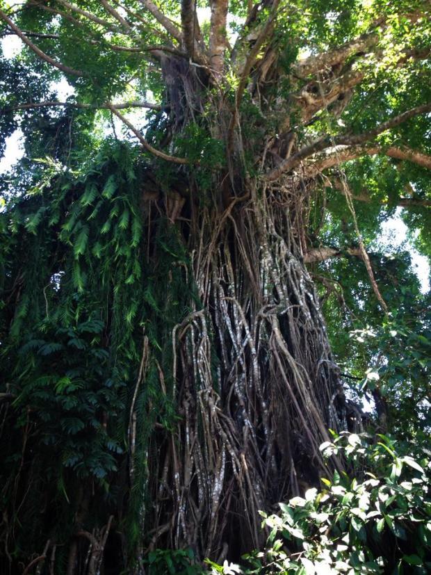 Giant Balete Tree