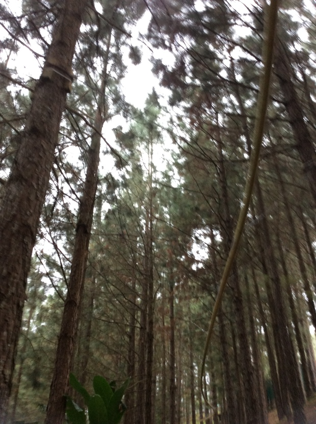 The scent of Pine Trees